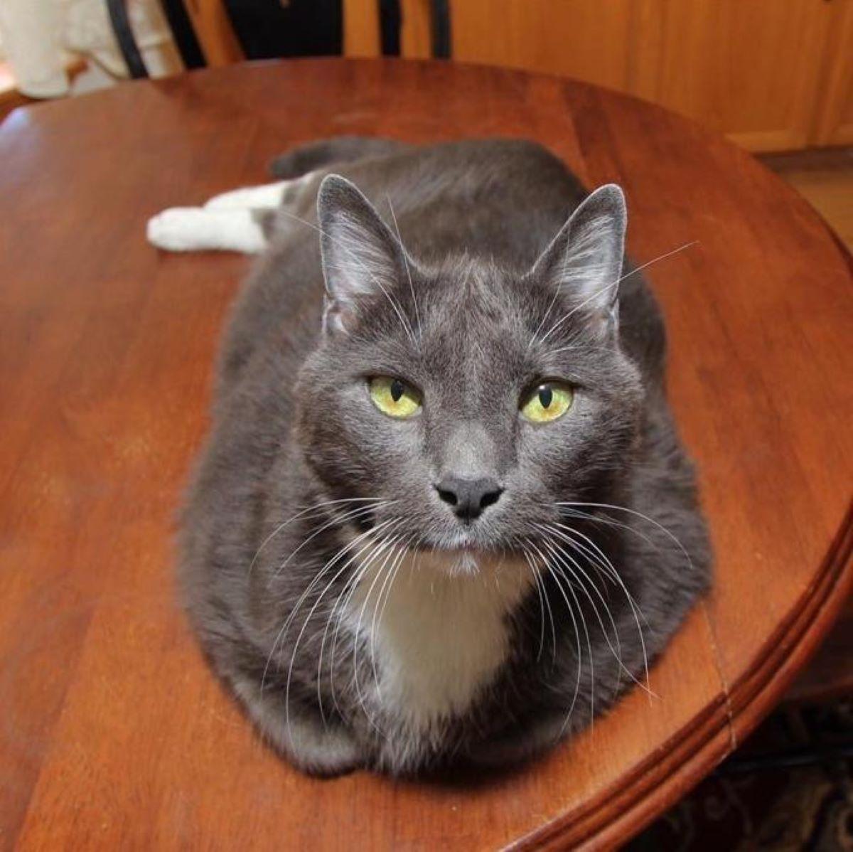 gatto-sopra-al-tavolo