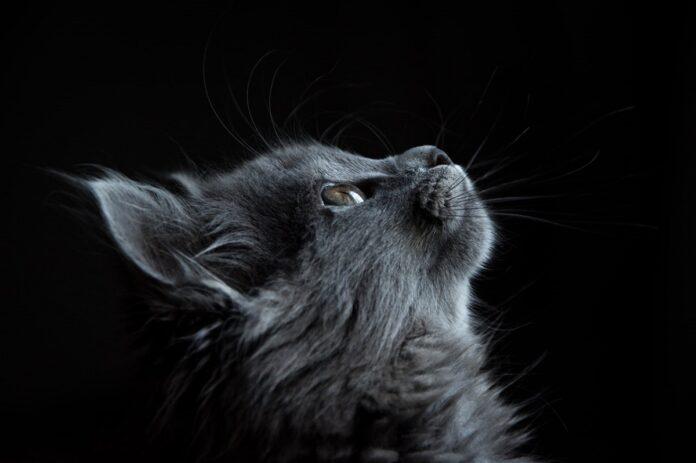 gatto su sfondo nero