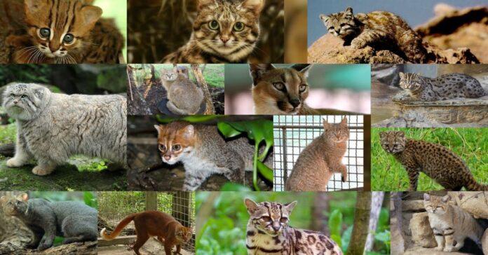 i-gatti-più-rari-e-particolari-al-mondo