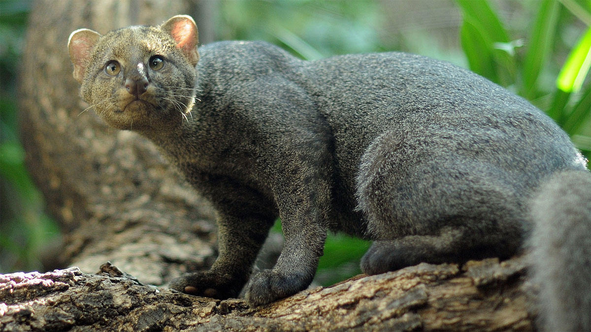 jaguarundi-su-albero