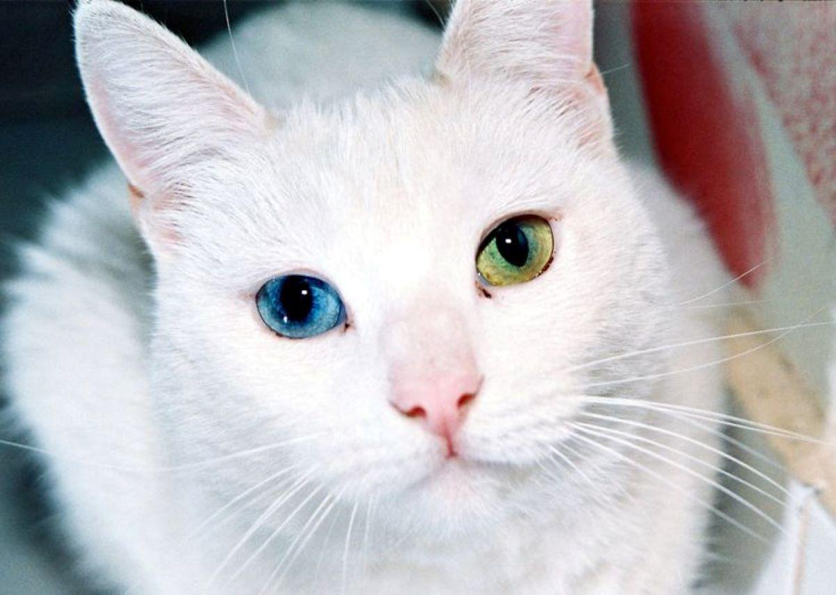 gatto-con-occhi-diversi