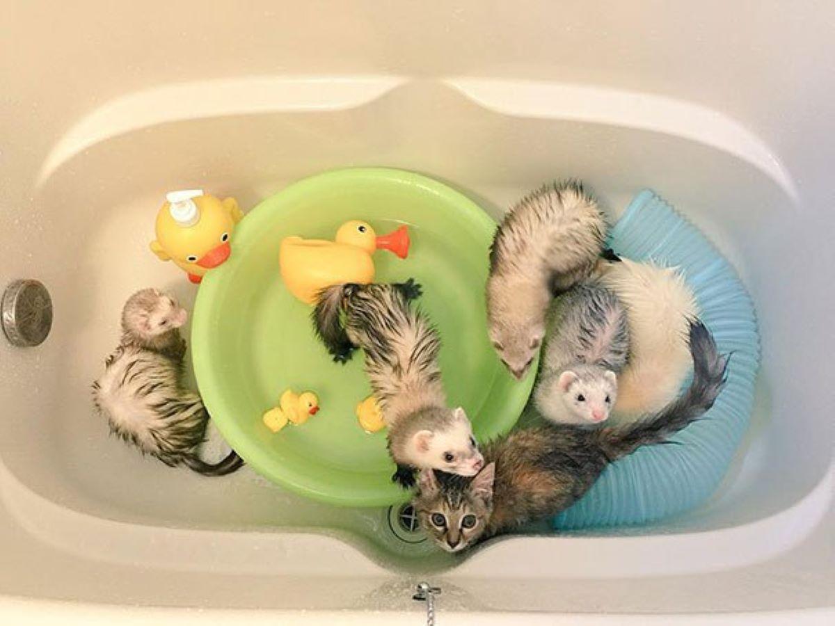 gatto-che-fa-il-bagno-con-furetti
