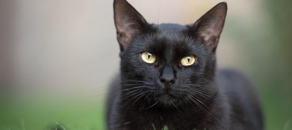 gatto-nero-bellissimo