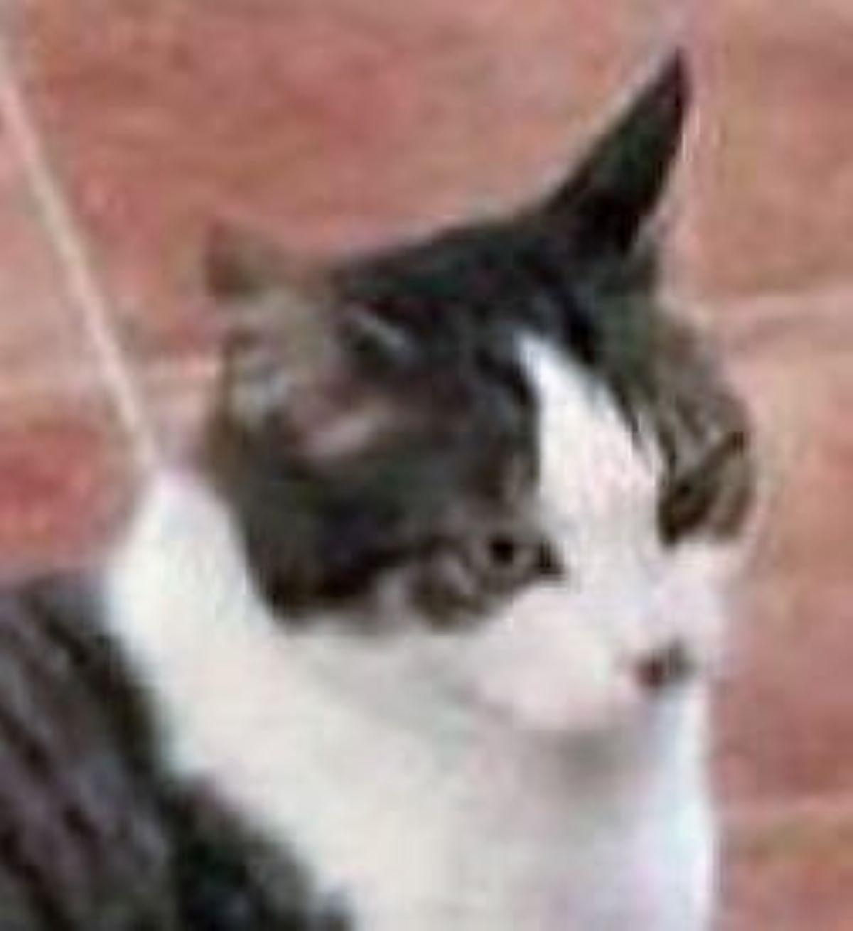 primo-piano-di-gatto
