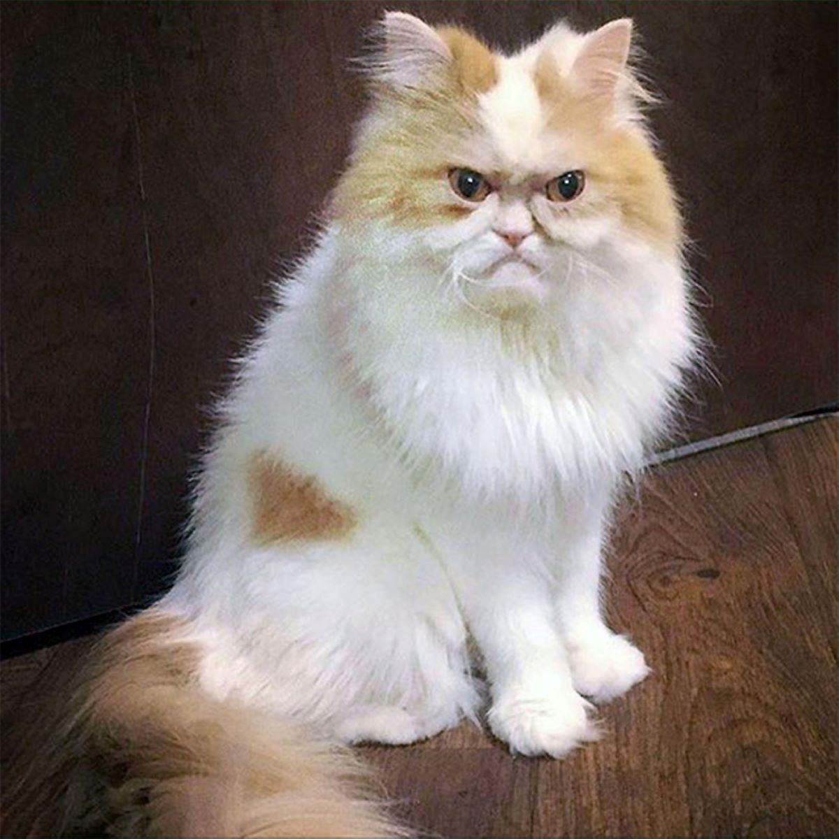 gatto-bianco-e-marrone