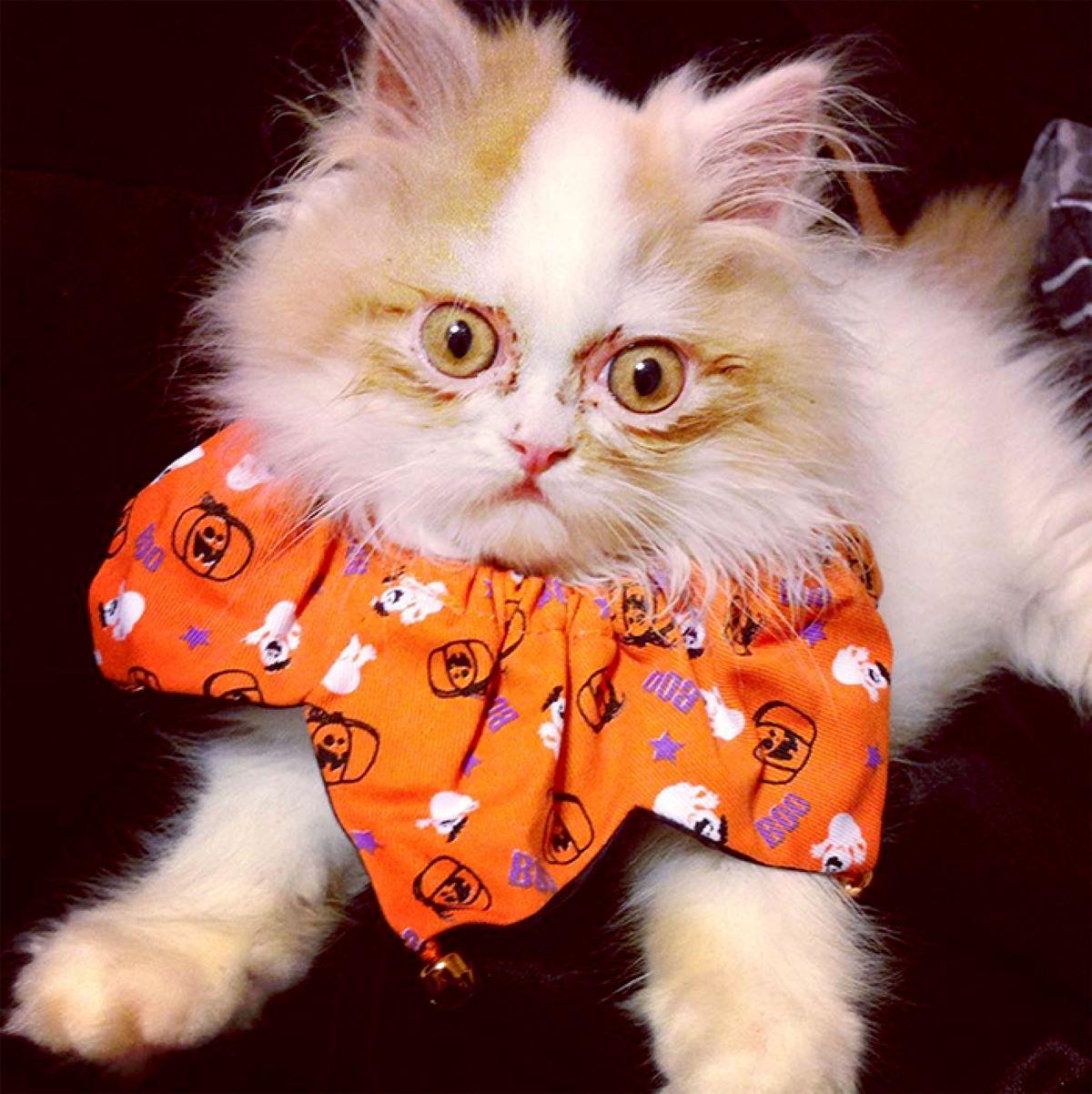 gatto-con-colletto-arancione