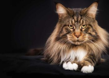 educare_maine-coon