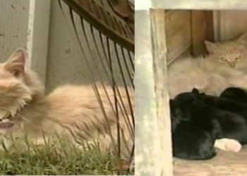 miss-kitty-la-gatta-che-allattò-dei-cuccioli-di-cane