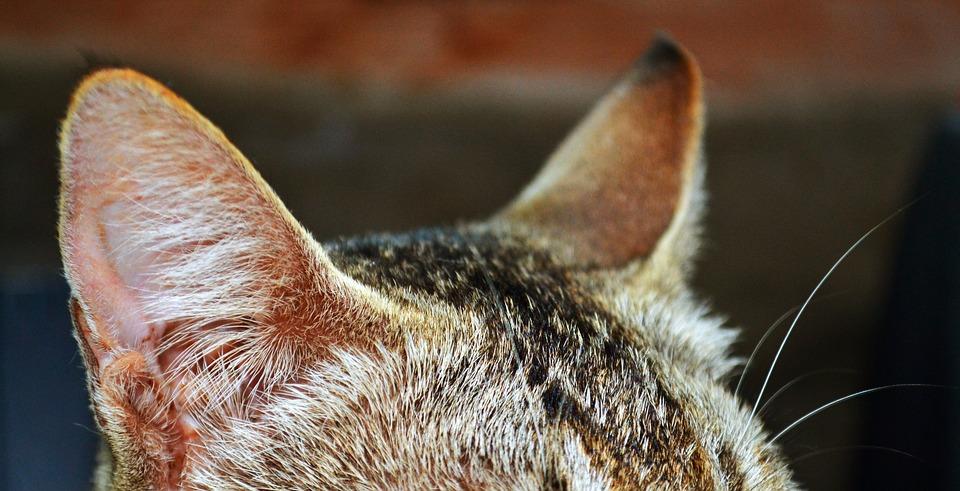 gatto-orecchie-calde-Ecco-perché