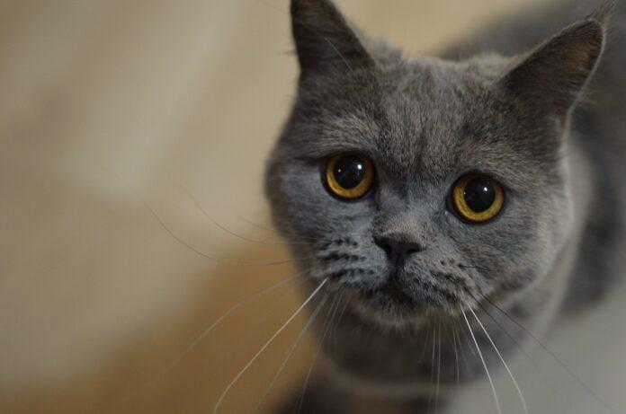 gatto grigio pupille dilatate