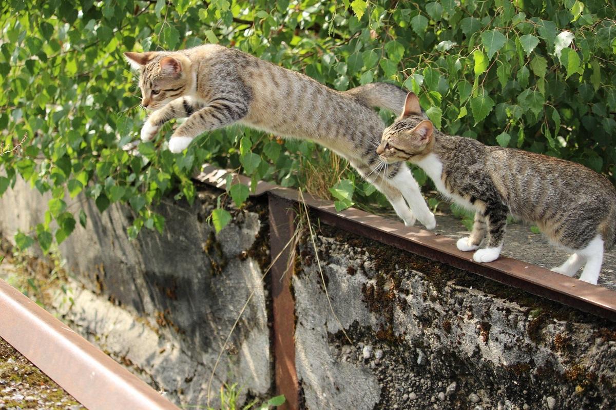 gatti saltano da muretto