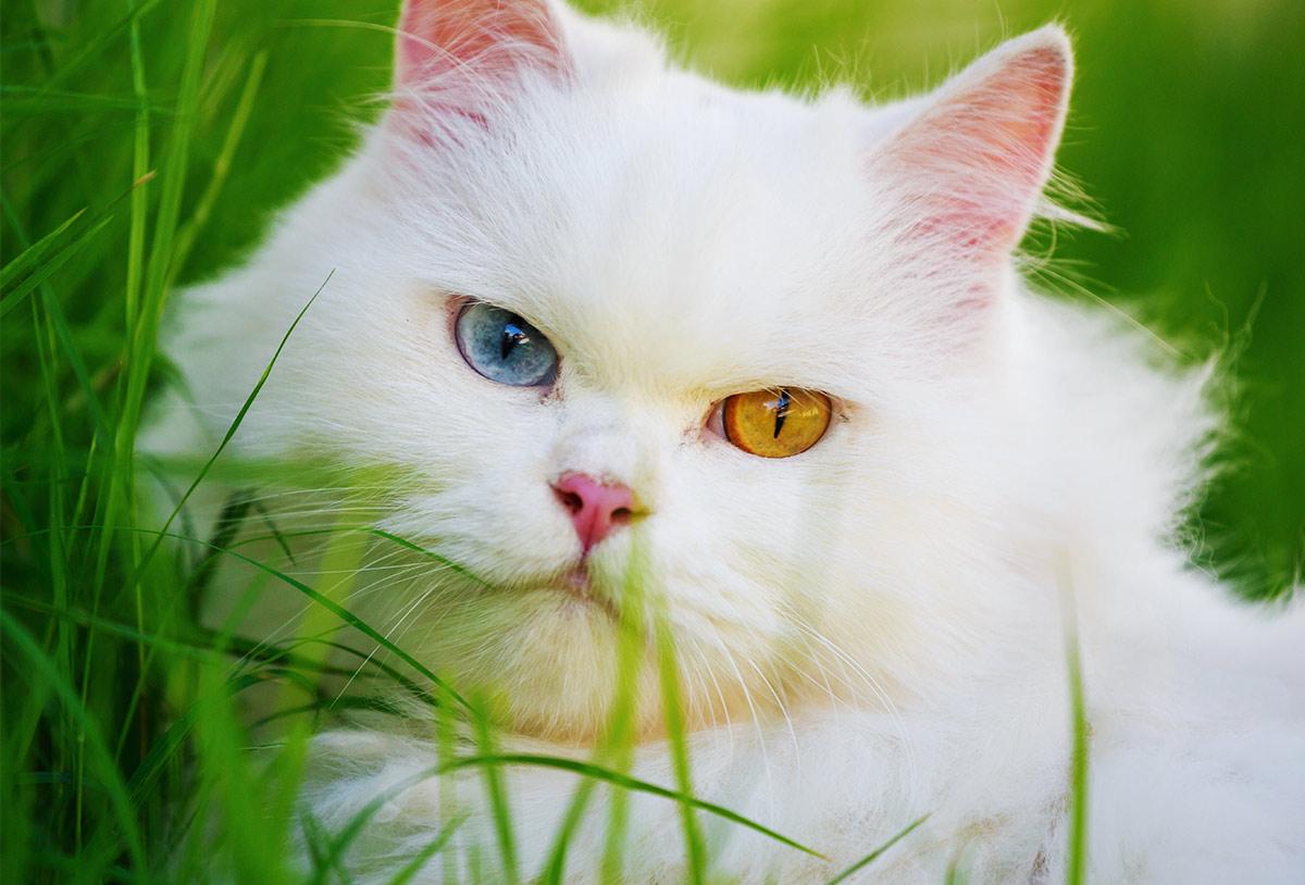 gatto bianco occhio giallo occhio blu