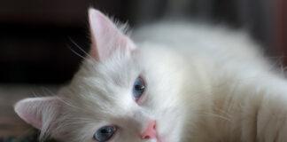 gatto bianco su coperta