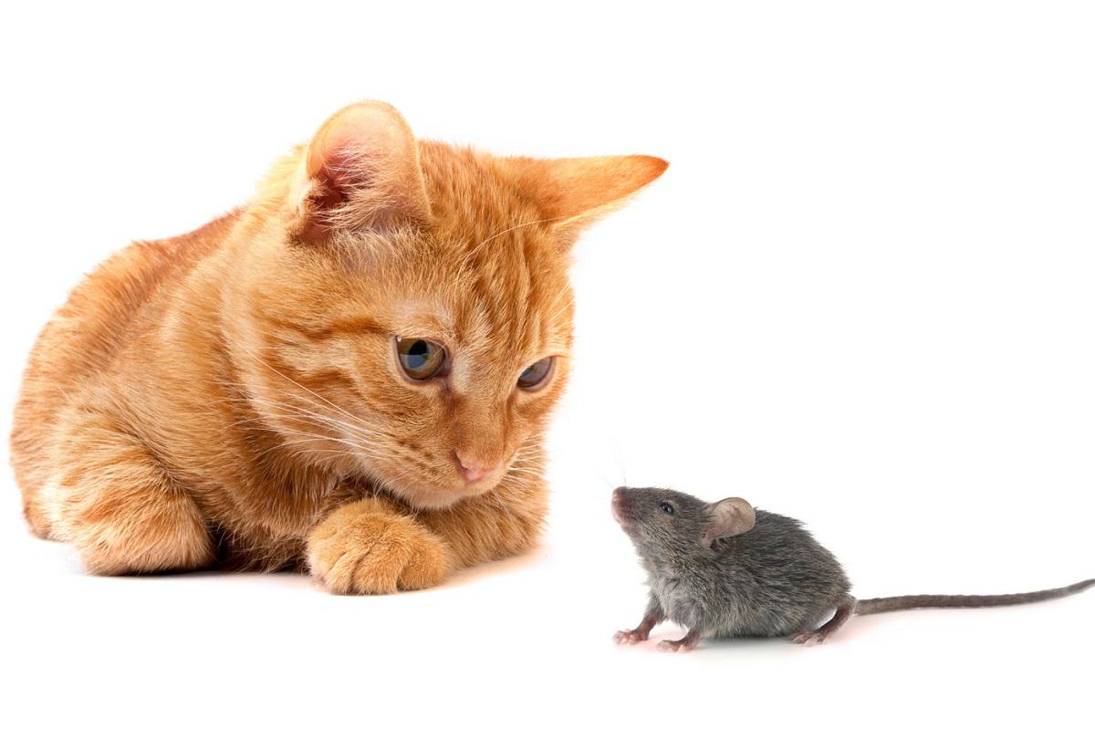 gatto e topo su sfondo bianco