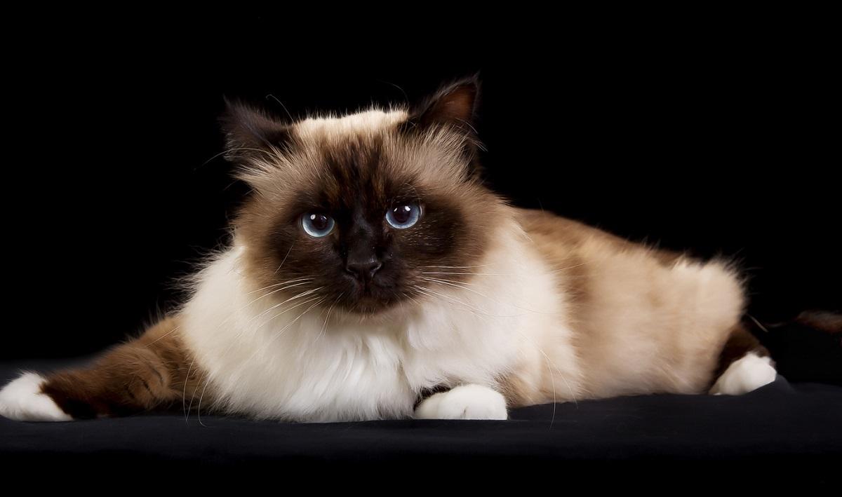 Ragdoll E Sacro Di Birmania Le Differenze Il Mio Gatto è Leggenda