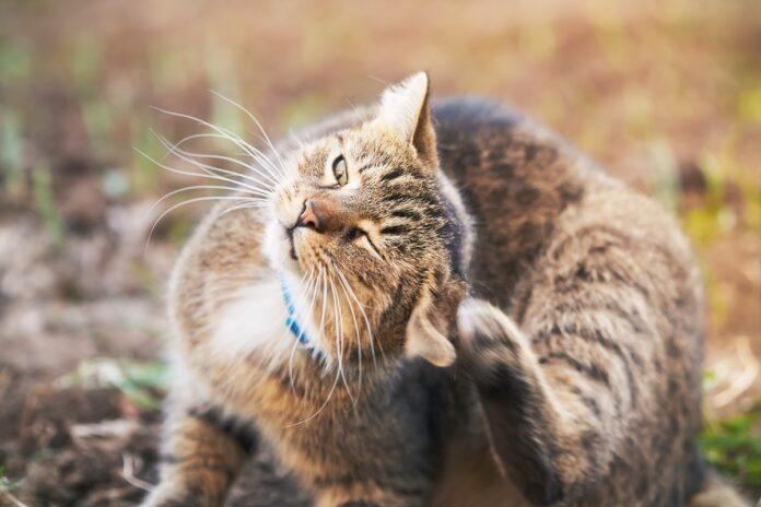 gatto si gratta la testa