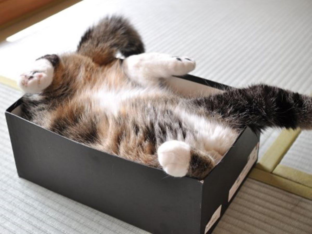 gatto-a-pancia-in-su-nella-scatola