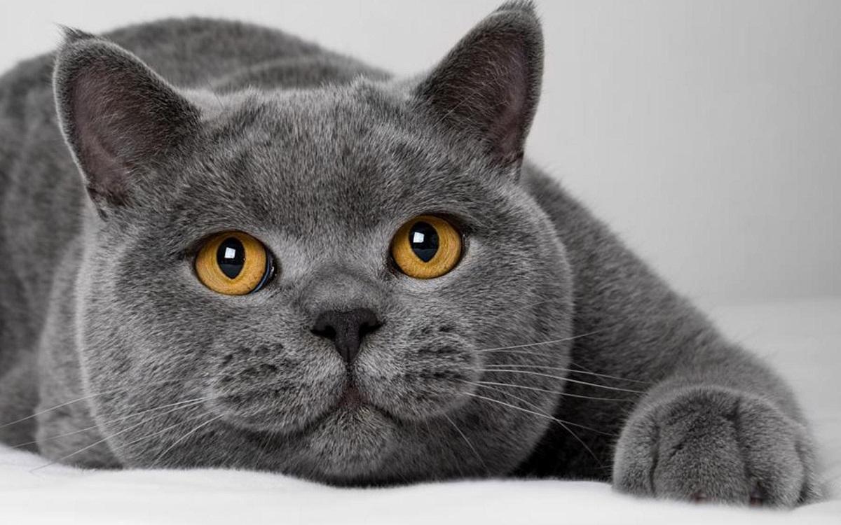 british shorthair grigio