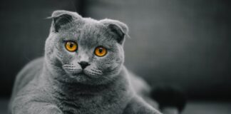 scottish-fold-gatto