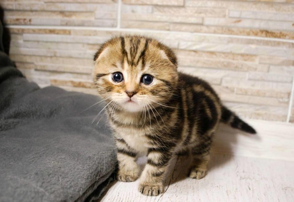 scottish-fold-gatto