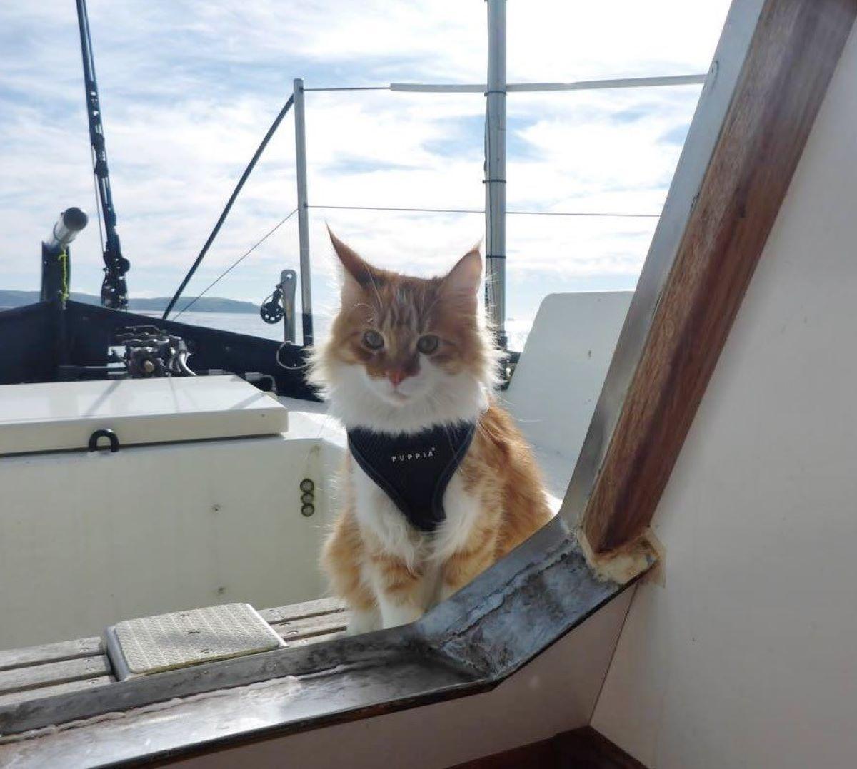 gatto-con-pettorina-in-barca