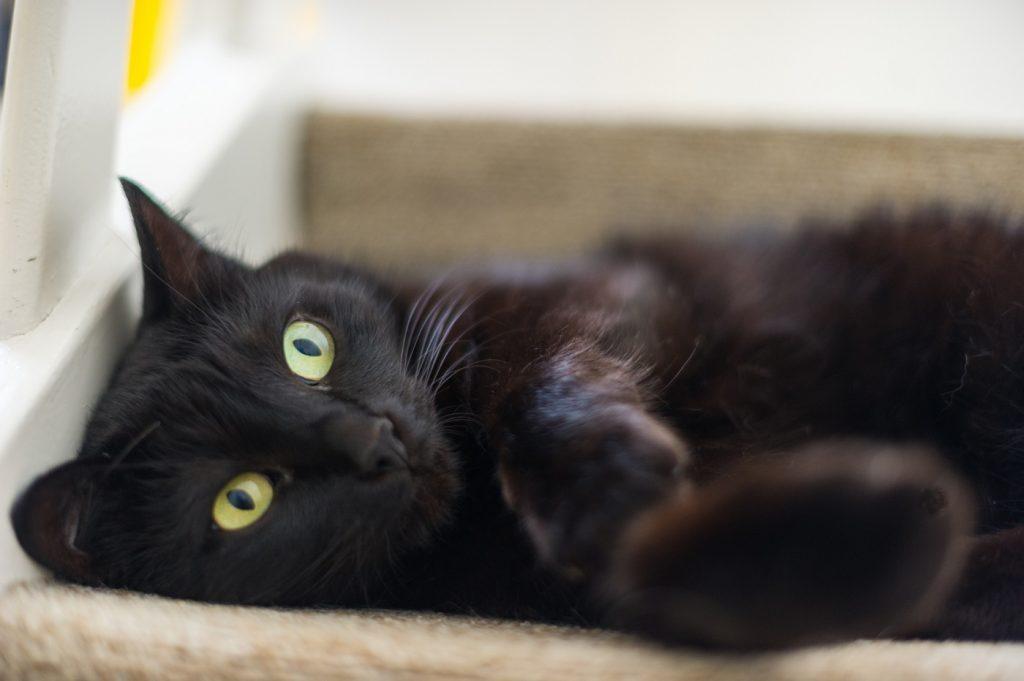 gatto-nero-prossimo-museo