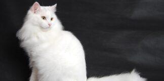 gatto bianco pelo lungo