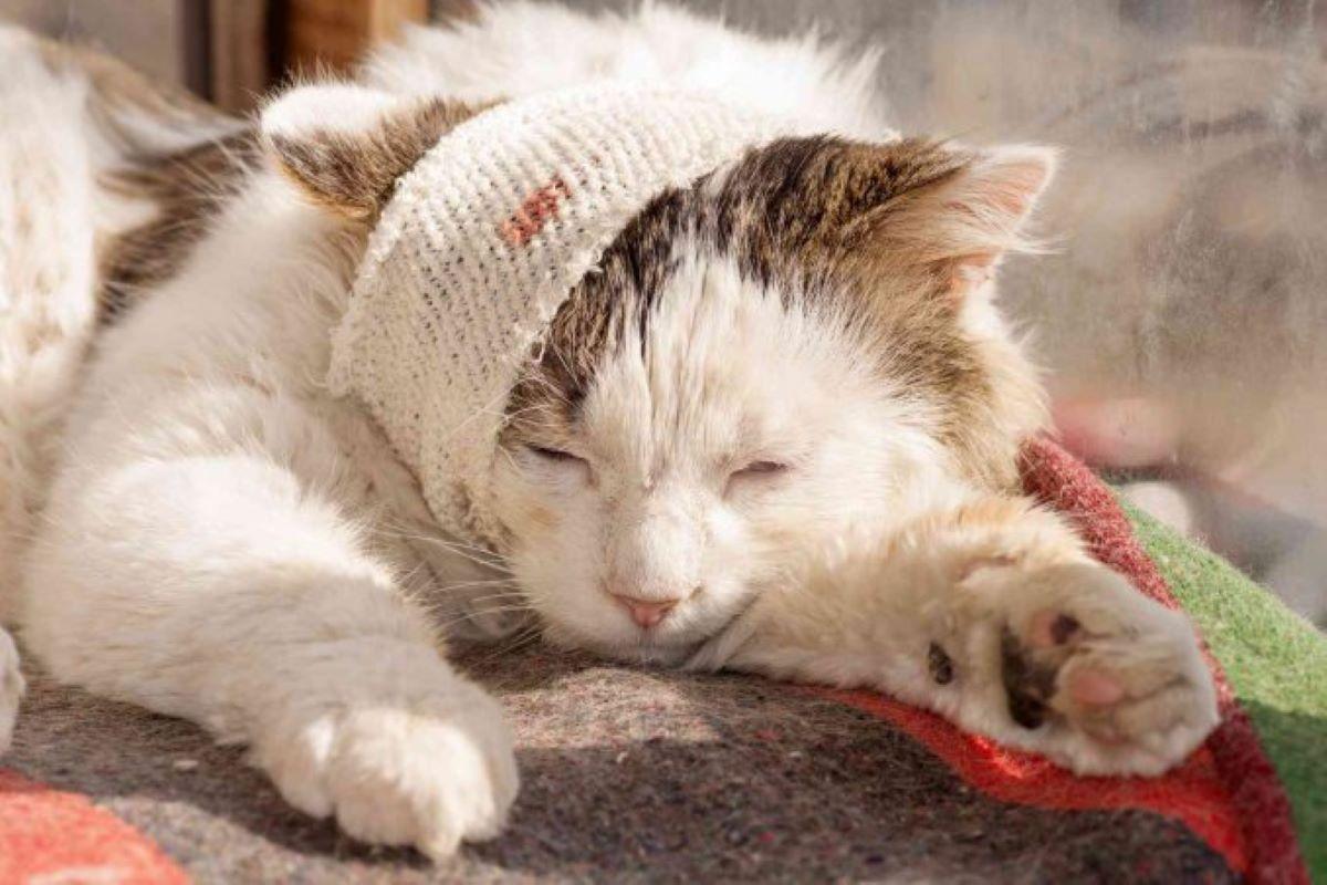 gatto-ferito