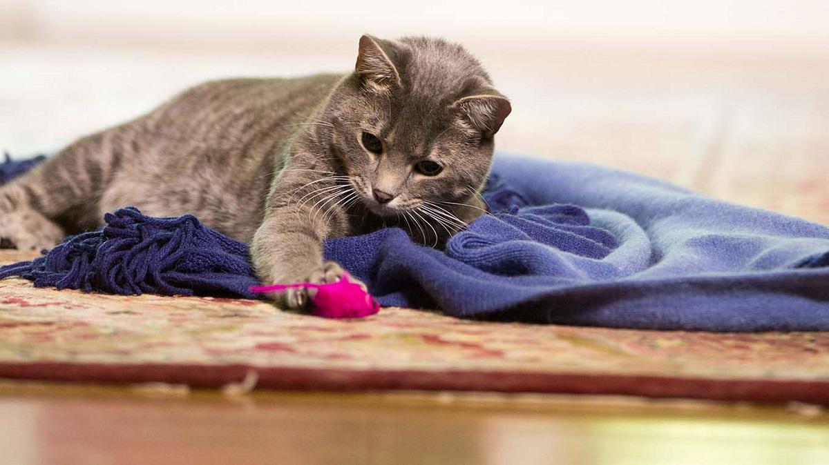 gatto disteso su coperta