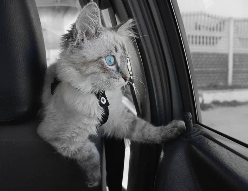gatto-in-macchina