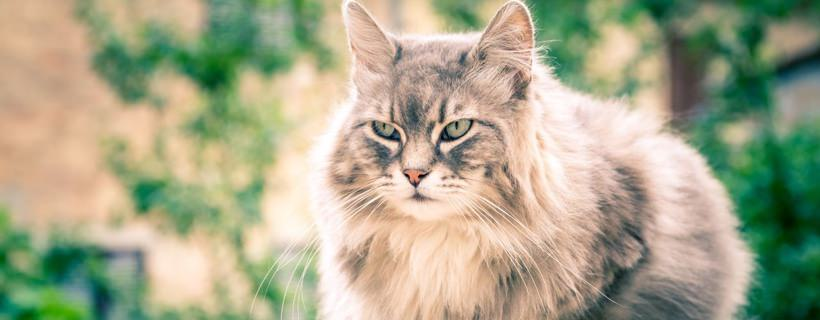 gatto che miagola sempre
