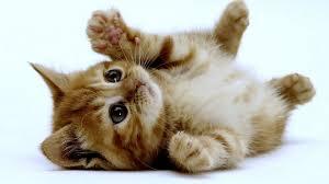 Cucciolo di gatto a pancia in su