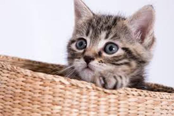 Cucciolo di gatto dentro ad una cesta