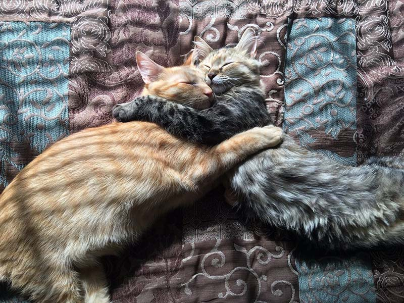 Due gatti abbracciati