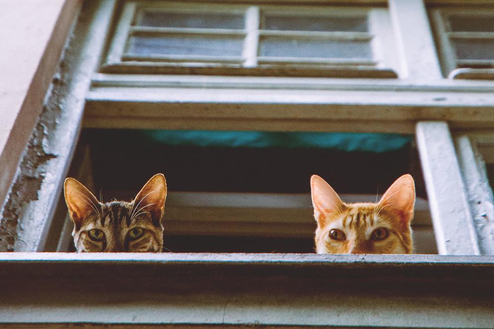 Due gatti affacciati ad una finestra
