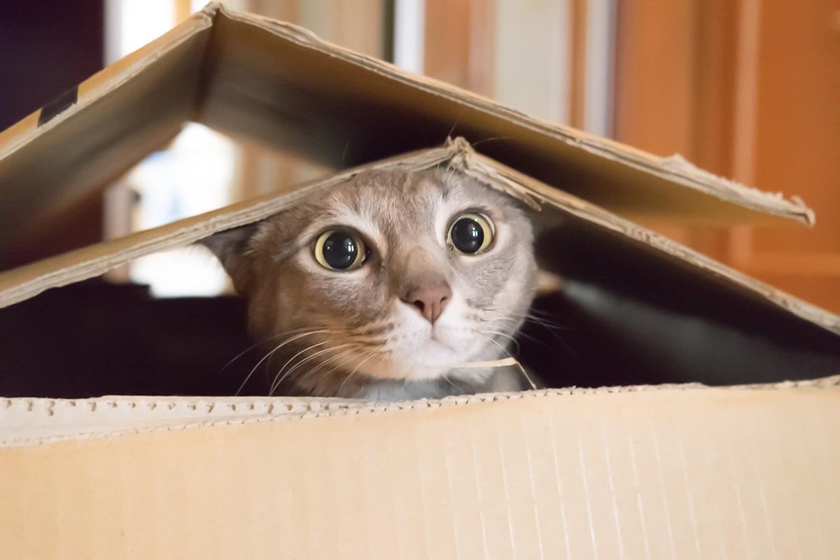gatto dentro scatola