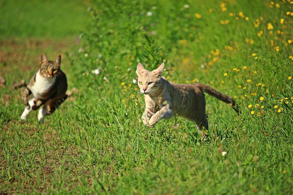 Gatti che corrono in un prato