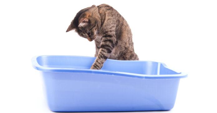 Gattino con una lettiera