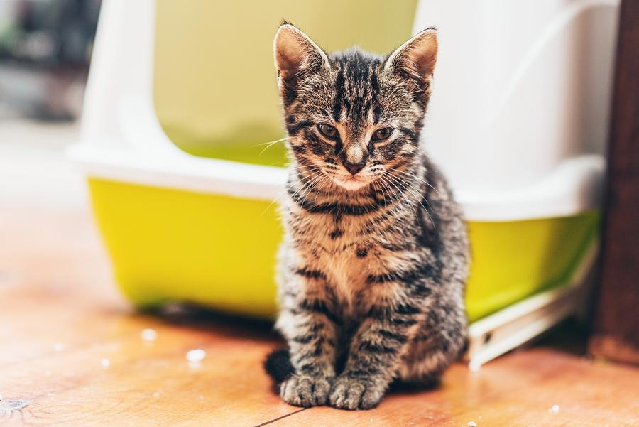 Gatto seduto davanti ad una lettiera
