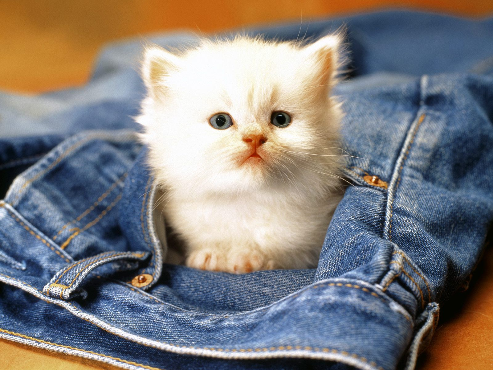 Gattino su un paio di jeans