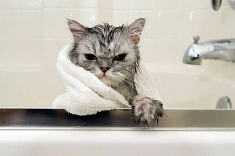 Gatto arrabbiato bagnato