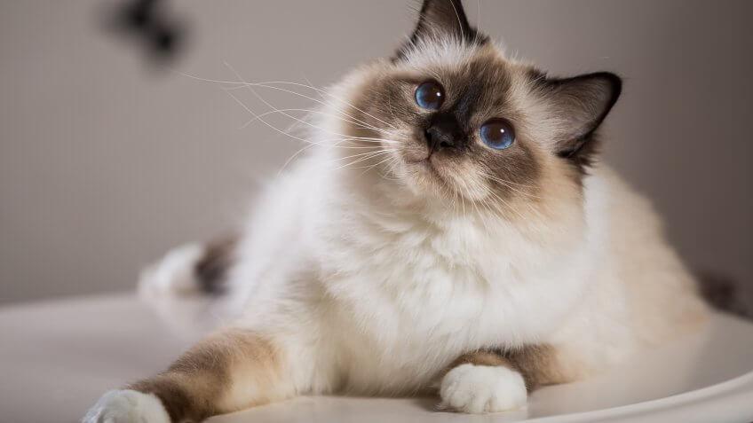 Gatto bianco con gli occhi celesti