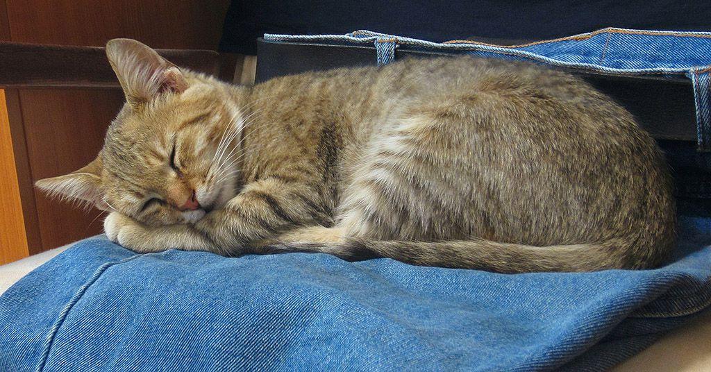 Gatto che dorme sui jeans