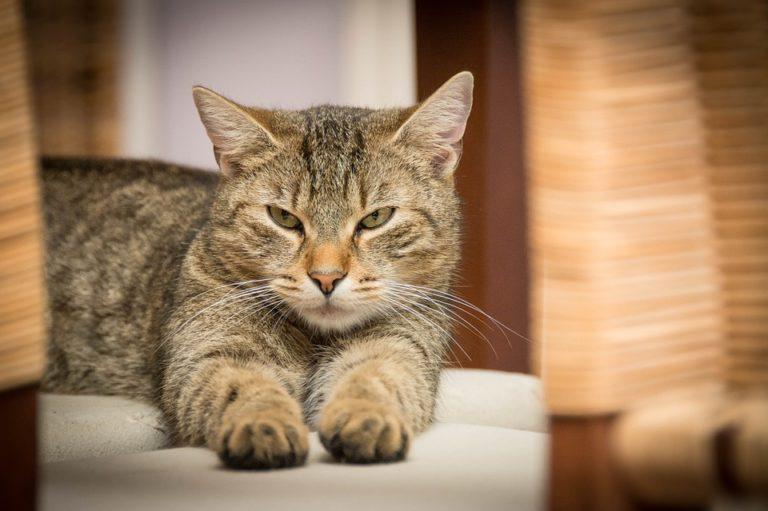 Gatto che fissa arrabbiato