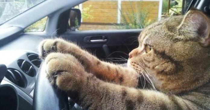 Gatto che guida