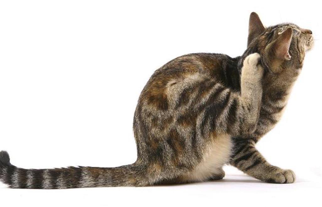 Gatto che si gratta dietro la testa