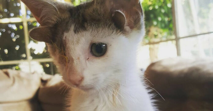 Gatto con 4 orecchie