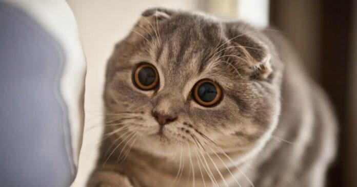 Gatto con le orecchie abbassate