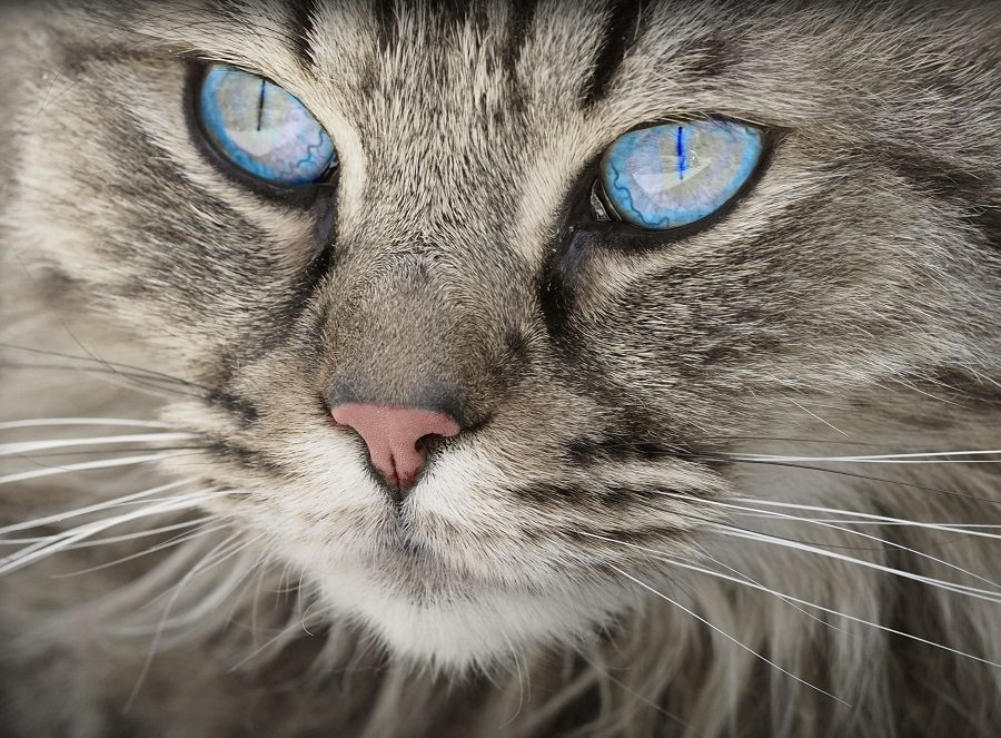 Gatto con occhi celesti