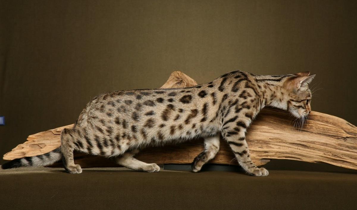gatto del bengala vicino a un ramo